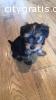 Teacup Yorkshire Pups (701) 352-7409