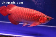 Top quality Grade AAA Asian Arowana fish