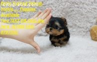 Two Cute Teacup Yorkie Pups