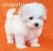 Two Healthy Maltese Puppies Available