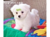 Two Teacup Maltese Puppies Needs a New