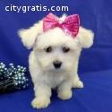 Very cute AKC Bichon Maltese puppies