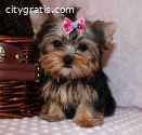 Well Tammed Yorkshire Terrier Puppies Fo