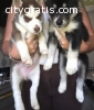 well trained siberian husky puppies