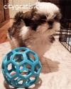 will stay small, 1 female shih-tzu puppy