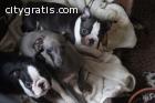 Xmas Firm Boston terrier