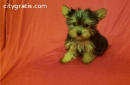 Yorkie puppies ready for their new