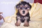Yorkie Pups Male & Female